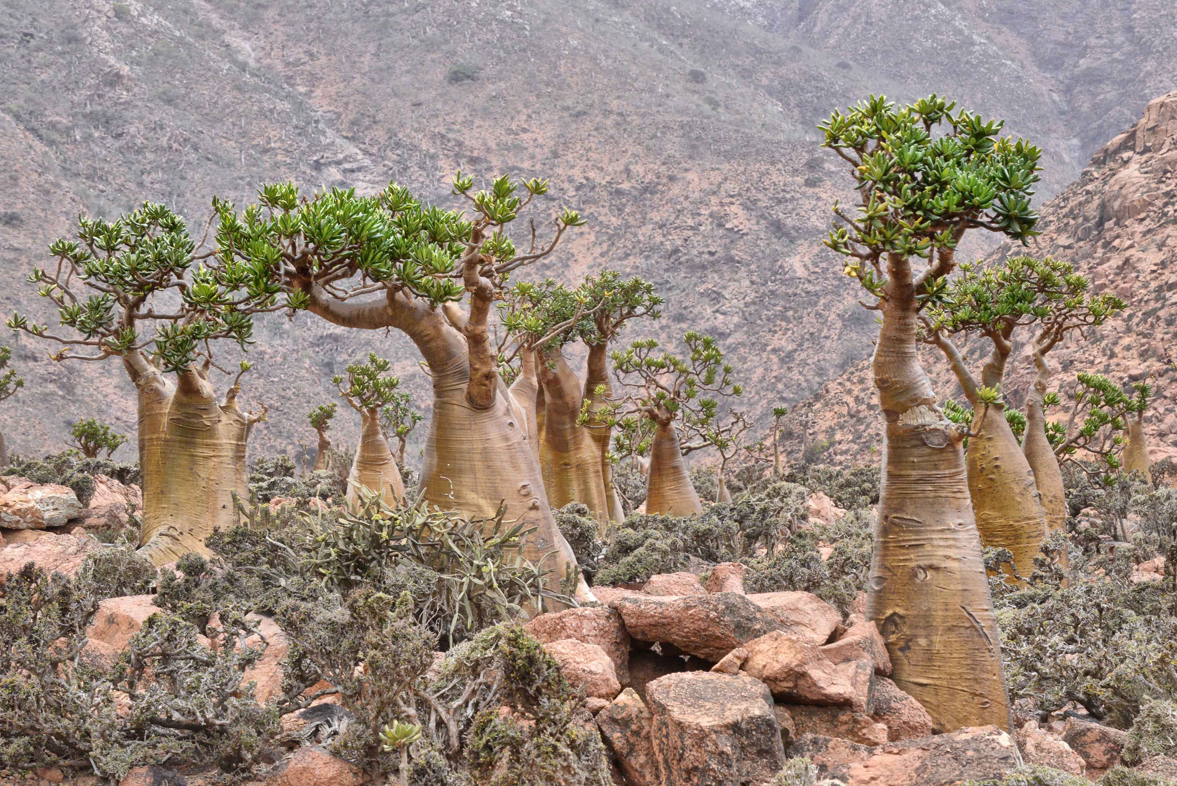 Bottle_Trees_Socotra_Island_9888518324