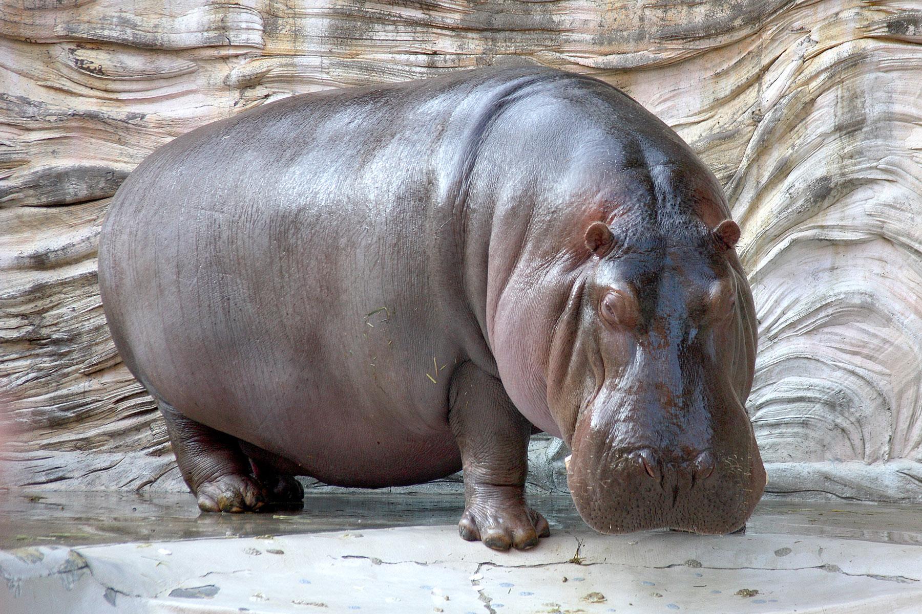 Hippopotamus_-_04
